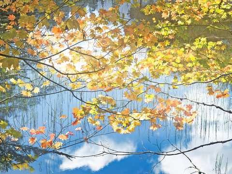 Autumn Maples Over Pond
