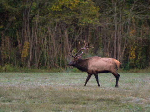Bull elk morning walk
