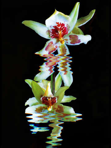 Green flowered cymbidium