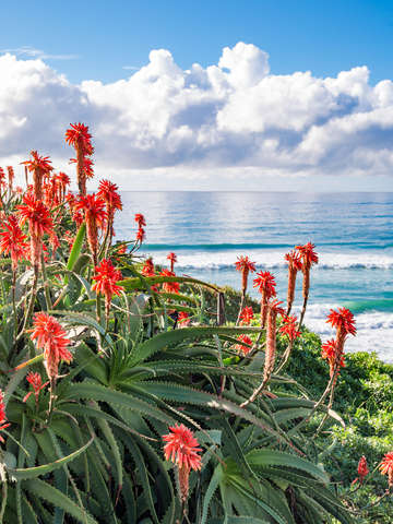 Red Aloe against Ocean