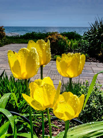 Wind point tulips