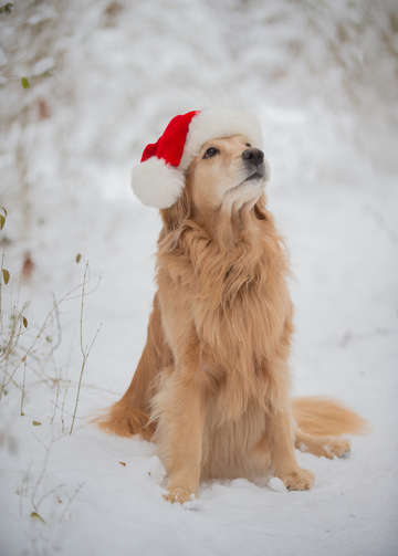 Golden Retriever in the Snow 12