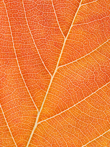 Autumn leaf 22