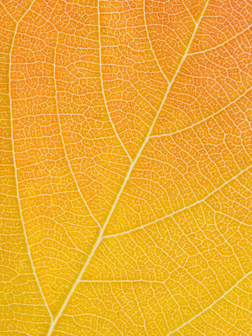 Autumn leaf 31