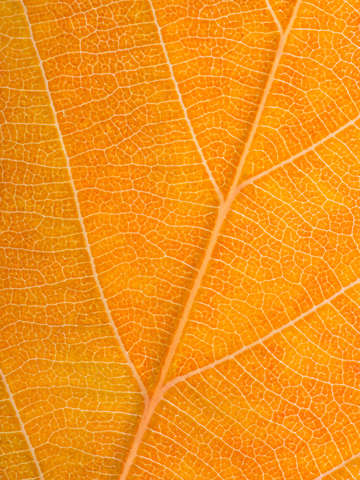 Autumn leaf 36