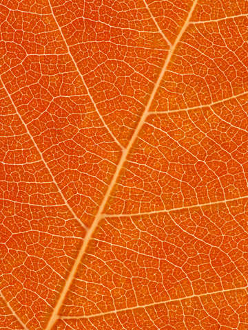 Autumn leaf 39