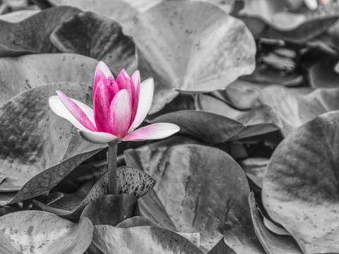Pink waterlily standout