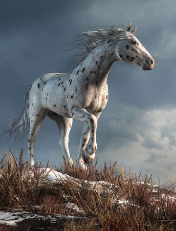Wild appaloosa in winter