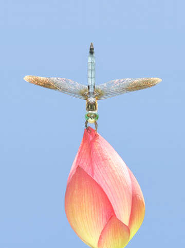 Untitled dragonfly on lotus bud