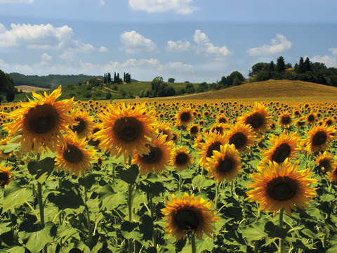 Tuscan sunflowers