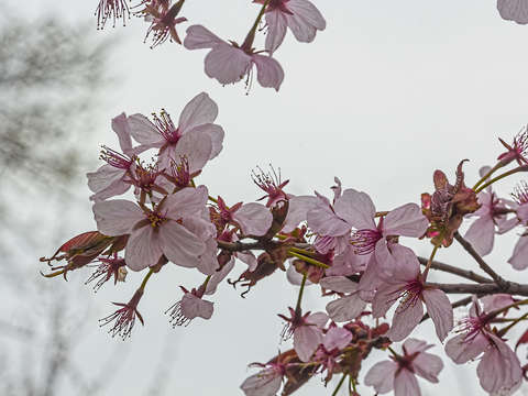 Cherry blossoms 15