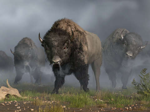 The bison vanguard