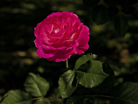 Pink rose in the dark