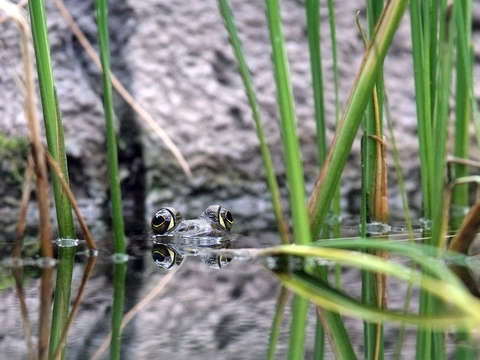 Big eyed frog in water