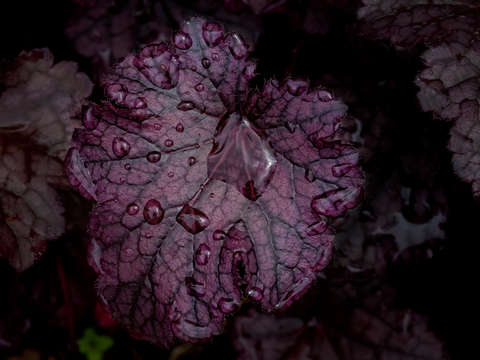 Dark purple leaves and raindrops