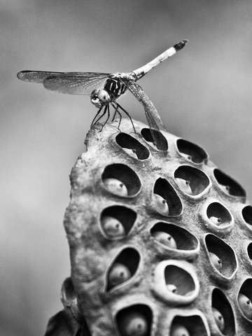 Dragonfly posing on a lotus seed pod